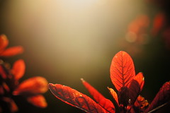 Red Leaf Bokeh