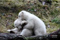 Polar Bear Cubs 2014_03_24