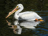 American White Pelican by philhaber