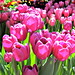 Spring Tulips by BlueisCoool