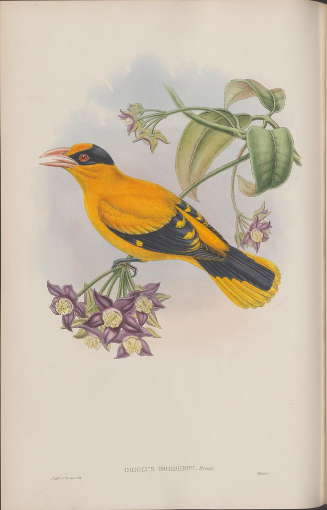 drawing of bright yellow-orange bird on branch with purple flower