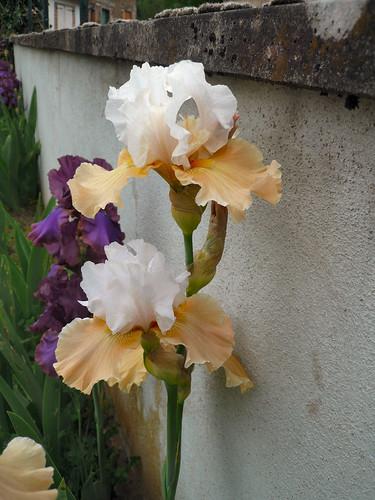 Peach iris 2