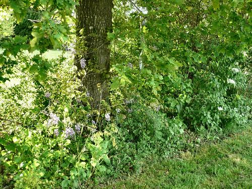 Wisteriaon oak tree
