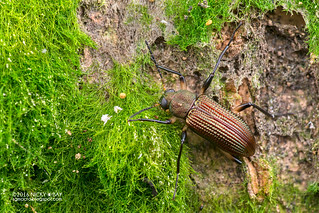 Darkling beetle (Strongylium sp.) - DSC_1398