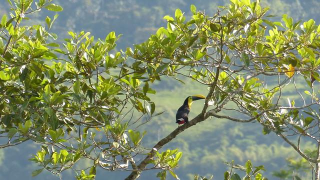 P1310301 - Toucan choco - Ramphastos brevis