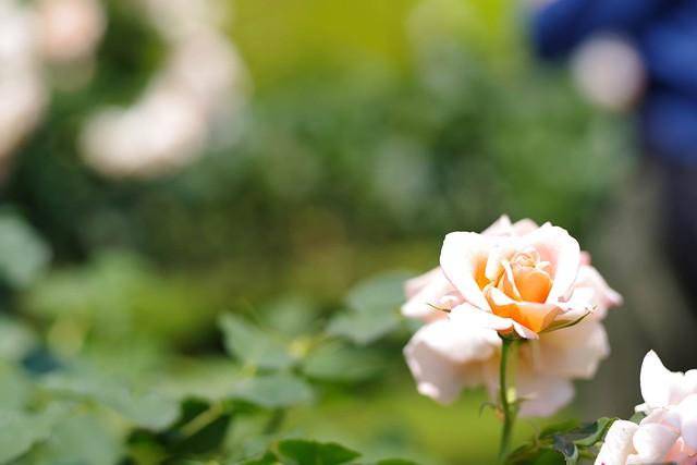 2016/05/21_古河庭園バラフェスタ-12