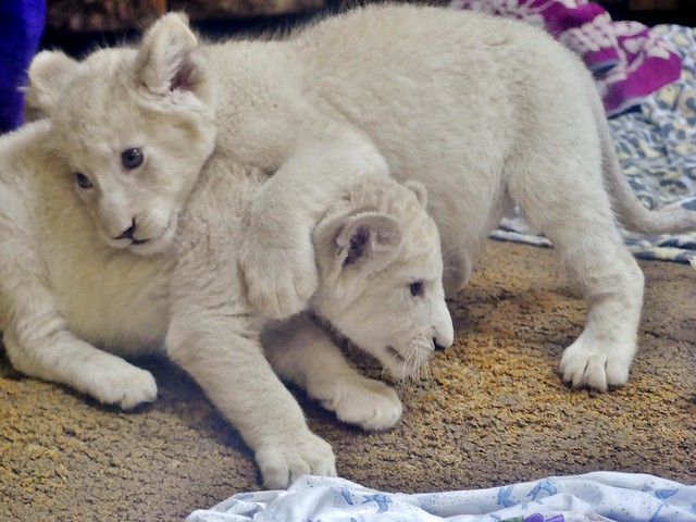 The White Lion Cubs (explored)