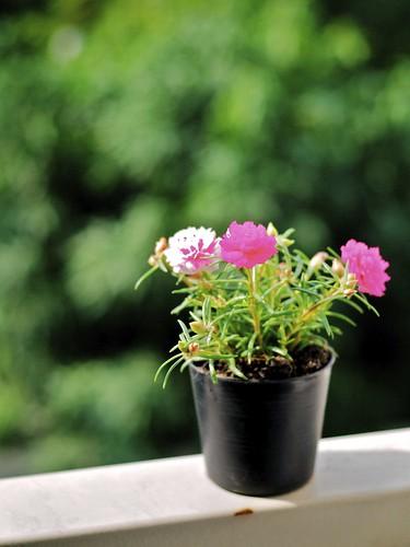 無料写真素材, 花・植物, 植木鉢
