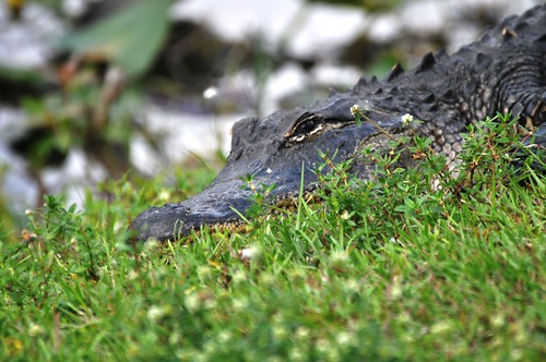Chilling in the grass. Shark Valley, Everglades National Park, Feb. 27, 2012