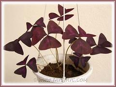 Our potted Oxalis triangularis (Purple Shamrock) has resurrected - 6 Feb 2012