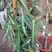 Small photo of Trachelospermum asiaticum Theta