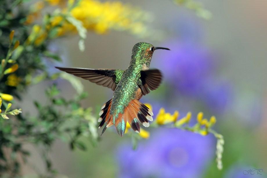 Allen's Hummingbird 030712-2