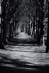 coate water corridor of trees - black and white - march 2012