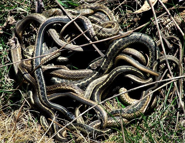 garter snake mating ball