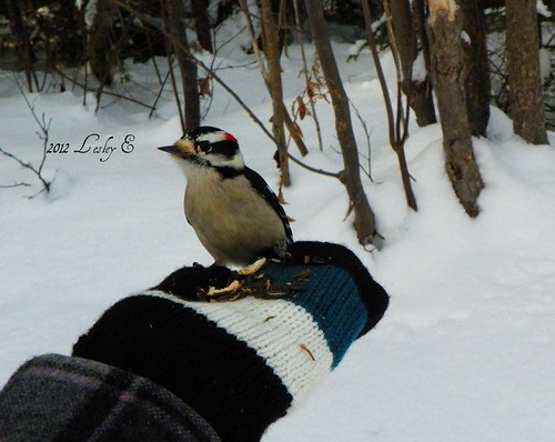 Downy woodpecker on my hand!! :)