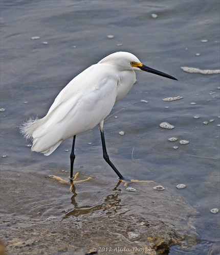 white egret by Alida's Photos