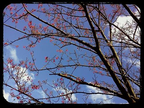 2012.2.12 ::: 三芝櫻花小旅行-1 by 南南風_e l a i n e
