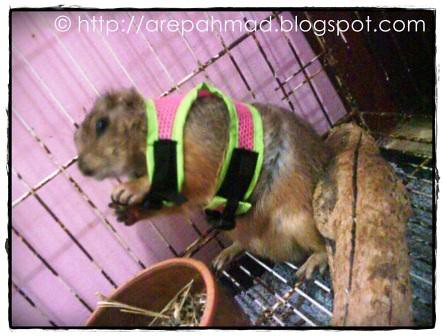 harness prairie dog