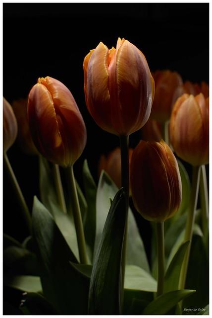 Tulips Series 2