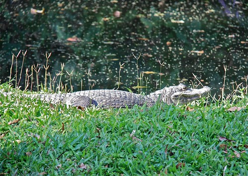 Caiman in the Grass