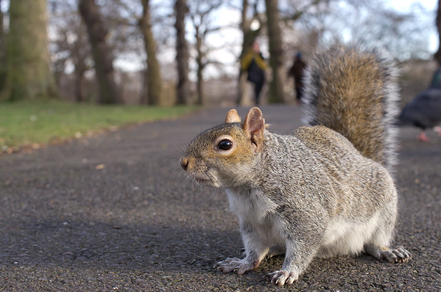 grey squirrel wide angle 4
