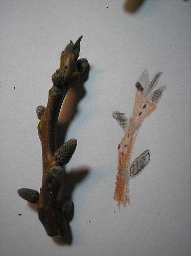 Walnut Tree Twig with Buds