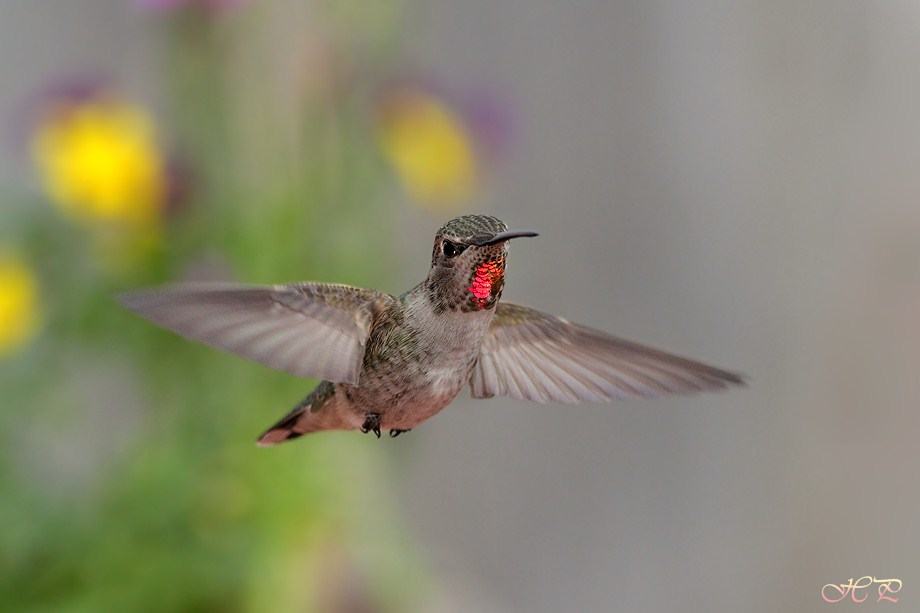 Anna's Hummingbird 021712-5