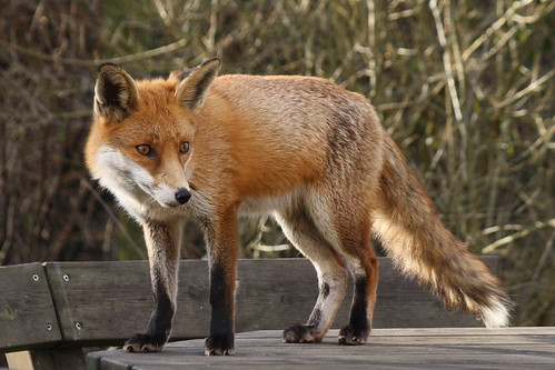 A fox. (Photo: janscanon)