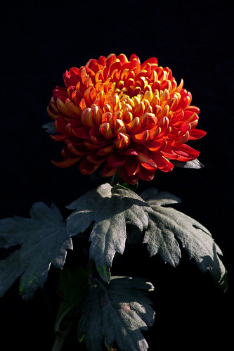 Chrysanthemum red