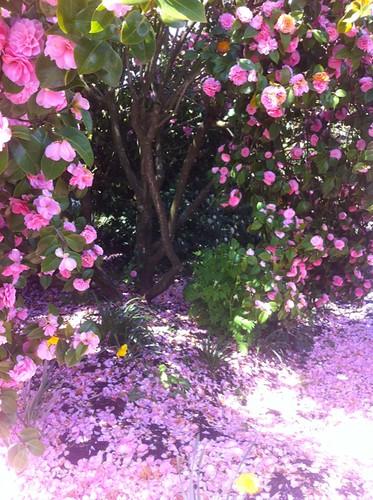 camellia petal snow