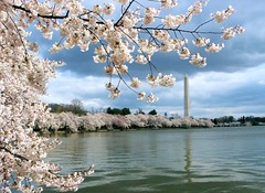 0436_Washington DC_cherry blossoms on the Tidal Basin