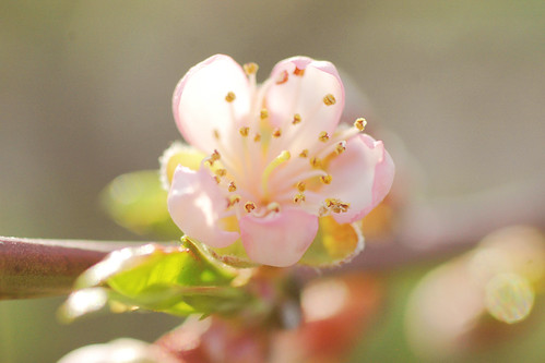 will The Delicate Peach Blossoms survive The Killing Frosts?