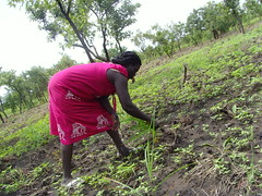 A woman weeds a sesame crop field in South Sudan's Eastern Equatoria state. Credit: Charlton Doki/IPS