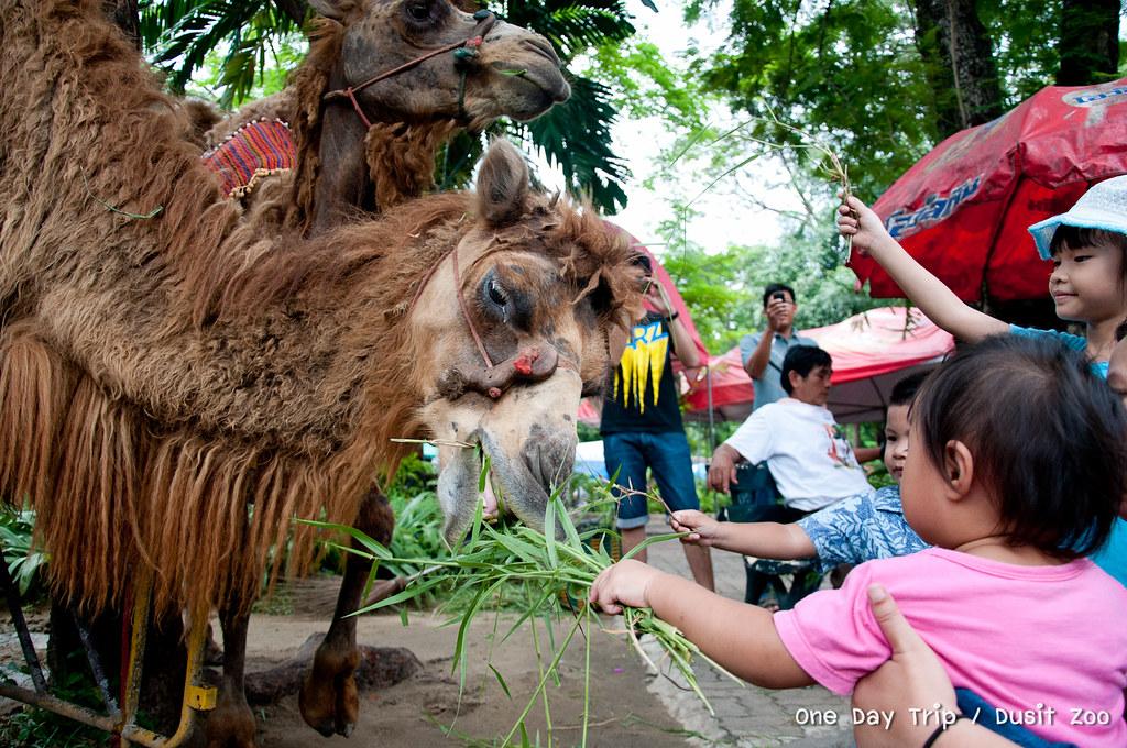 Dusit zoo - อูฐ