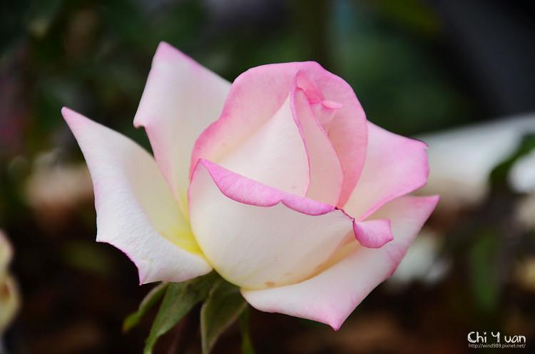 2012士林官邸玫瑰季12.jpg