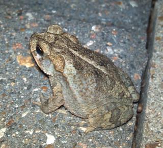 Coastal Plain toad