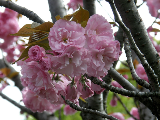 Photo:#3081 Japanese cherry (カンザン) By Nemo's great uncle