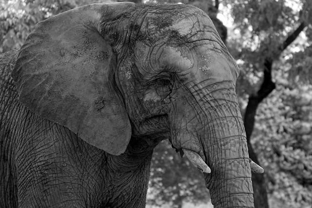 Elefante en Blanco y Negro