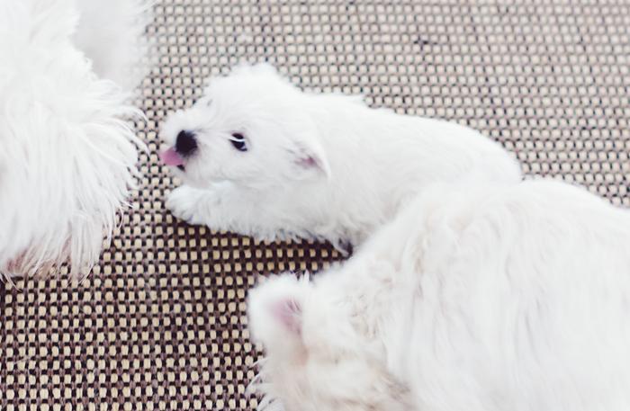 koiranpennut (9 of 10)