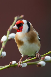 IMG_4779 Goldfinch