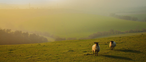 Sheep in the evening mist.