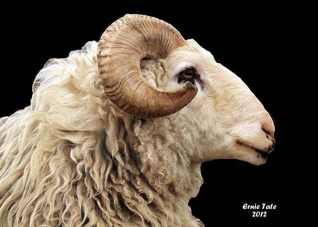 Karakul Ram Sheep Profile   Flickr - Photo Sharing!