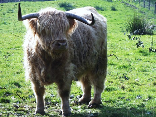 Highland Cow, Arran