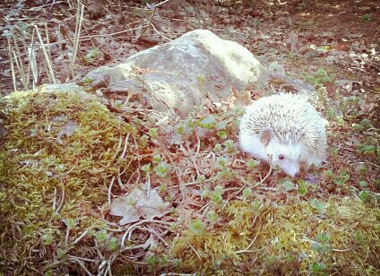 Arboretum hedgehog by scosborne