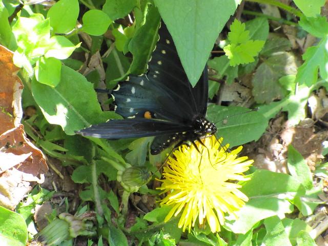 IMG_4779_Fallingwater_Cascades_Butterfly
