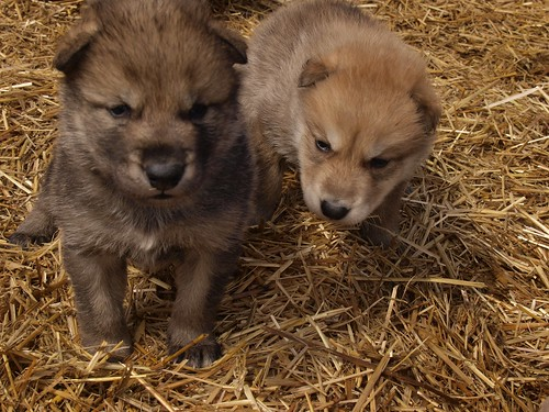 2012-04-22 Fur-Ever Wild Wolf Pups 095 by puckster55pics