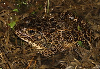 Crawfish Frog (Rana areolata)