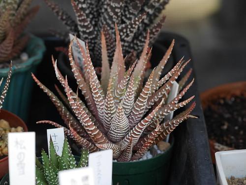 Haworthia fasciata f. variegata
