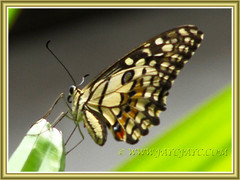 Papilio demoleus (Lime Butterfly), resting on the frond of Lady Palm - 21 April 2014