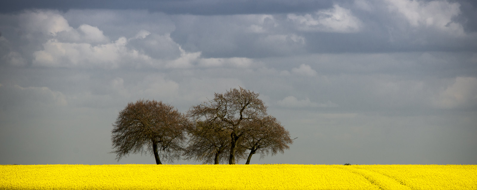 Trees on the ridge of a carpet of yellow